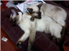 Fritz and Misty, my Siamese cats, resting.